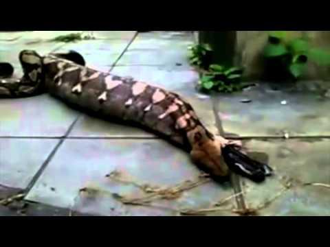 Clip tran khong lo o ra cho   Kinh hãi xem trăn khổng lồ ợ ra chó