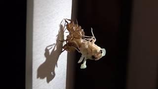 2018.07.19.〜07.20. 玄関前で出会った蝉の幼虫を自宅居間で羽化させて...