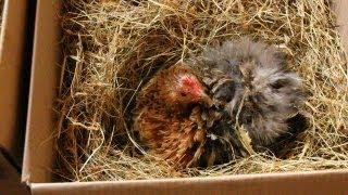 Raising Organic Quail, Sitting eggs tips & strategies. Couvaison des cailles. Incubar de  codornices