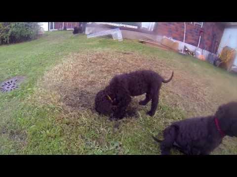 IWS 3 Irish Water Spaniel puppies 7 week