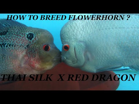 How To Breed Flowerhorn Fish ? Series -1