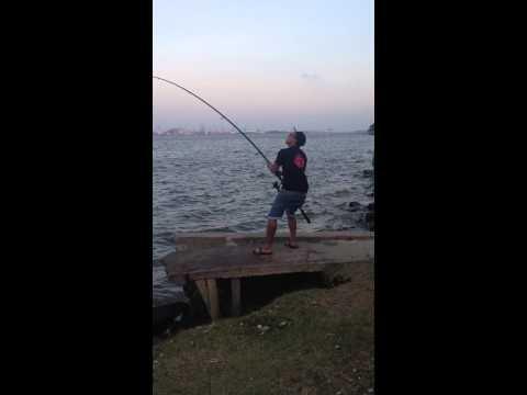 Big Stringray caught at sembawang park 17kg+
