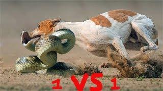 Giải Thoát Chó Con Bị Rắn Độc Quấn Siết Cổ Trong Bẫy Rắn . Amazing Dog Vs Snake