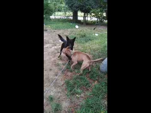 German Shepherd VS Pitbull (Dog Fight) - YouTube