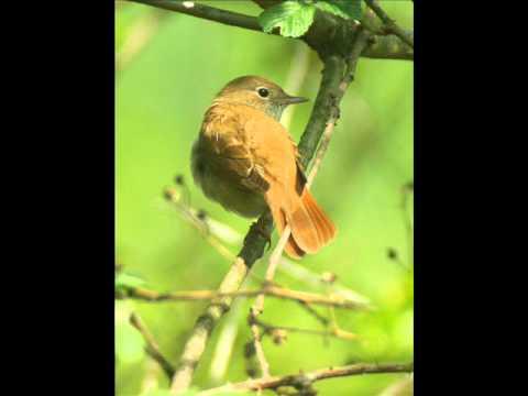 ~Nightingale by Leonard Cohen~