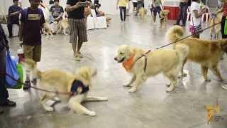 Largest gathering of Golden Retrievers by Golden Retriever Club Singapore (GRCS) @ Pet Expo