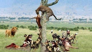 ハイエナ、ライオン対ゼブラ、イーグル対巨大パイソンから獲物を盗むた...