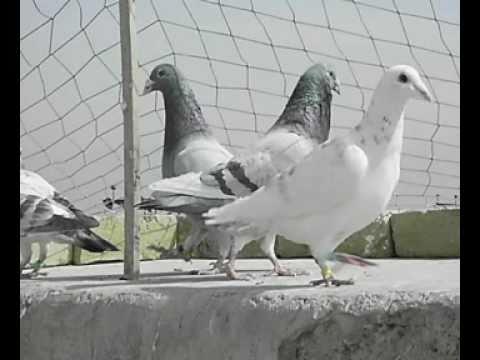 Farooq Racing Pigeons