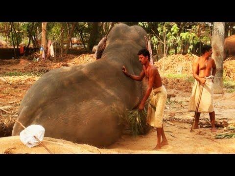Dusting Elephant in Guruvayoor, Kerala