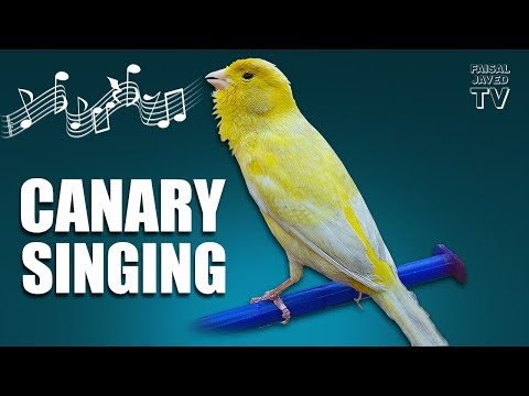 Bird Sounds | Canary Singing | Melodies Canary Bird Song | Training Video | Faisal Javed TV
