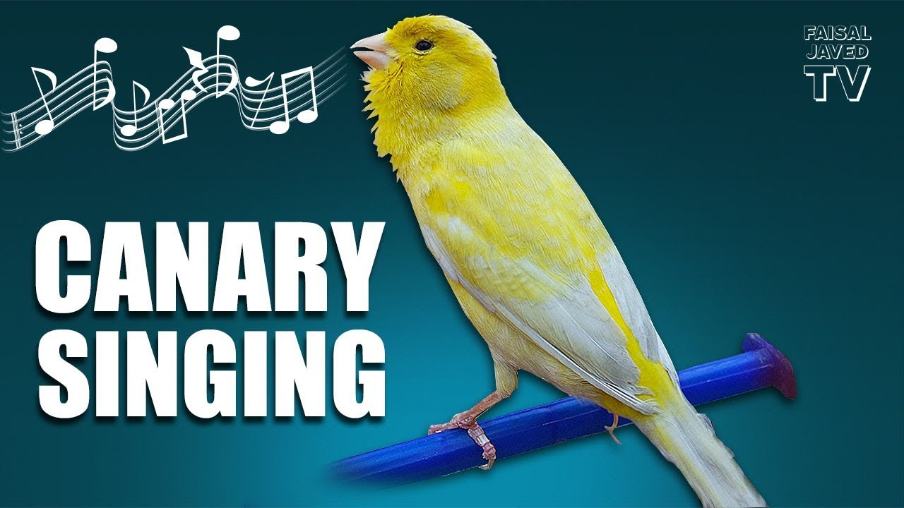 canary bird sound mp3 free download