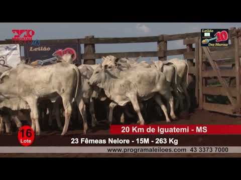 Lote 16   23 Fêmeas   12M   263 Kg   20 Km de Iguatemi   MS