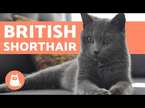 British Shorthair Cat - CHARACTERISTICS and CARE