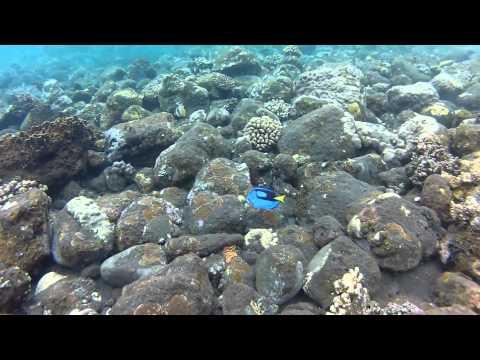 Palette Surgeonfish - Snorkelling (3m), Tulamben, Bali 12/05/12 - GoPro HD Hero2