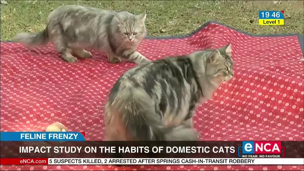 what does domestic cat mean