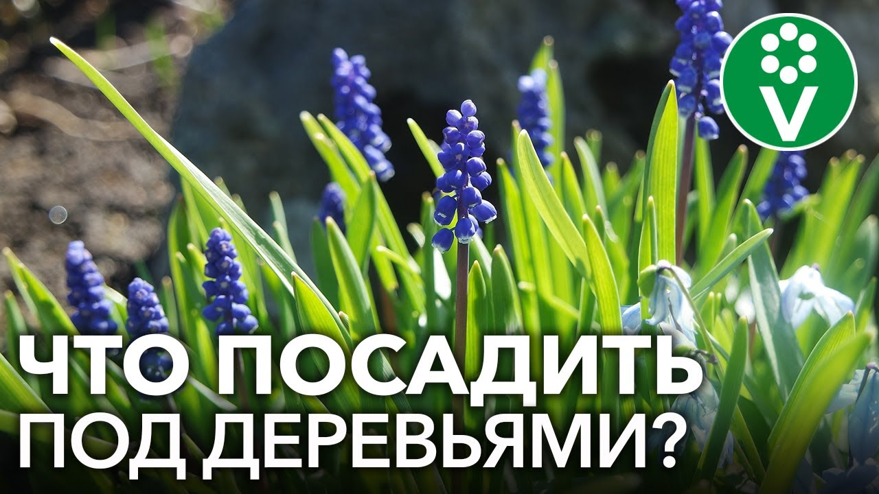 ПРИСТВОЛЬНЫЕ КРУГИ ПЛОДОВЫХ ДЕРЕВЬЕВ: нужны ли и что лучше сажать под деревьями?