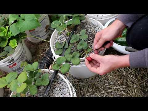 Gardening With Cody 12017 Week 14: First Harvest