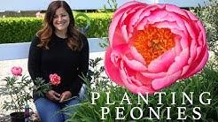 Planting Peonies (Plants & Tubers) in My Garden! ??// Garden Answer