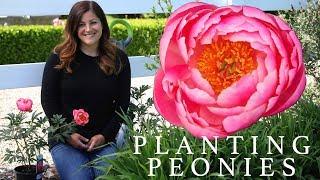 Planting Peonies (Plants & Tubers) in My Garden! 🌿🌸// Garden Answer
