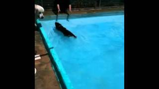 Labrador Retriever Elvis Swimming In The Pool Part 2