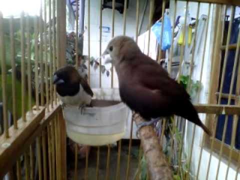 Burung emprit ndas kaji gacor