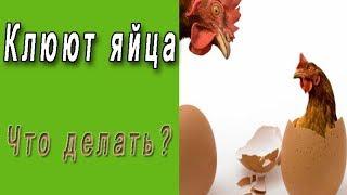 видео Почему куры клюют яйца: причины, что делать