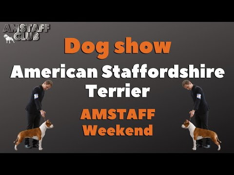 American Staffordshire Terrier, Dog Show in Russia, National Championship, AMSTAFF Weekend 2019