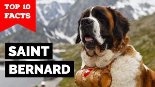 Saint Bernard  Top 10 Facts