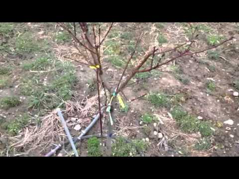 Stark Brothers Nursery Fruit Tree Order 4 Planted