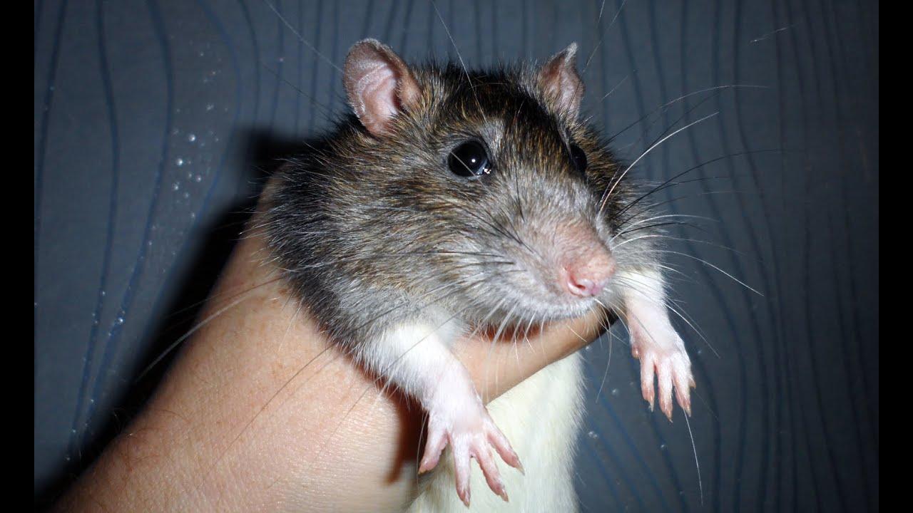 Очень добрая ручная домашняя крыса капюшон. Fancy rat ...