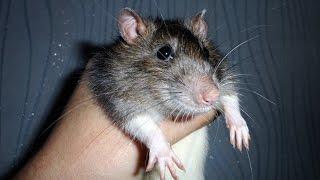 Очень добрая ручная домашняя крыса капюшон. Fancy rat