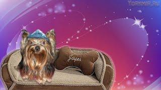 Уход за йорком | Здоровая собака в вашем доме.