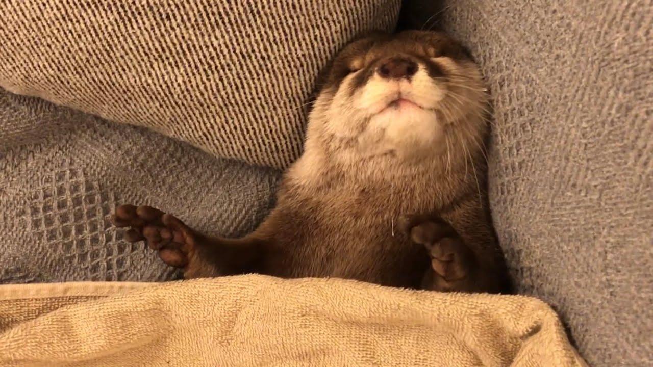 カワウソさくら 人間のように寝るカワウソ、カワウソのように寝る猫 otter that sleeps like human and cat that sleeps like otter