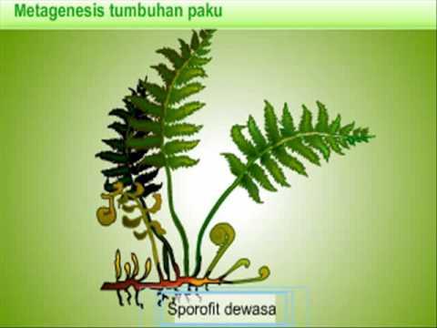 reproduksi tumbuhan pakuflv  YouTube