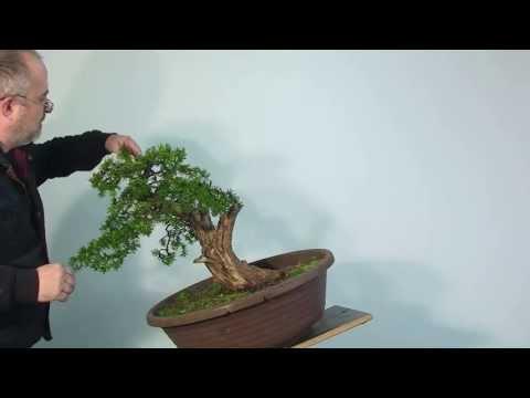 Bonsai Gestaltung Eibe (Taxus) by Merlin