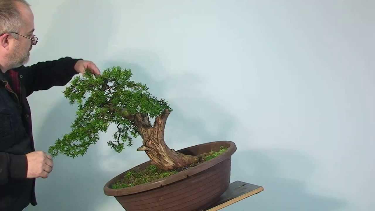 Bonsai Gestalten bonsai gestaltung eibe (taxus)merlin - youtube