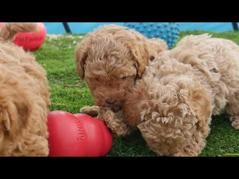Playful Toy Poochons #CHEVROMISTKENNELS