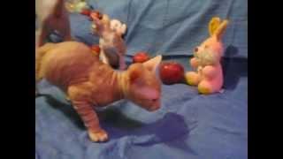 Сфинксы Донские - котята 2 мес.