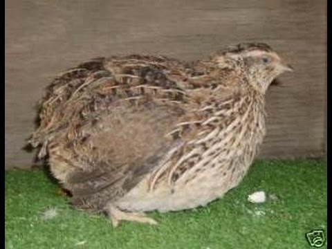 How much noise do quail make? What do they sound like?