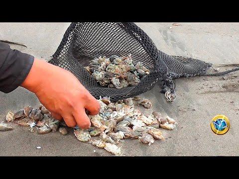 Recolección de PULGAS de MAR Cebo para Pesca