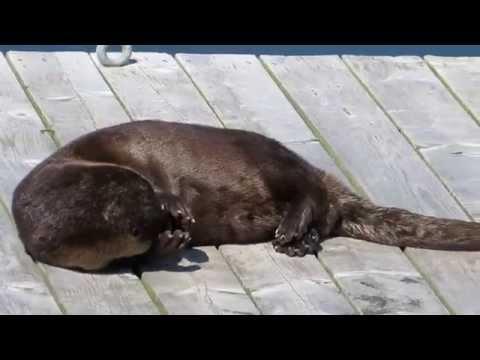 Sea Otter Sun Bathing on Halifax Dock Up Close Look