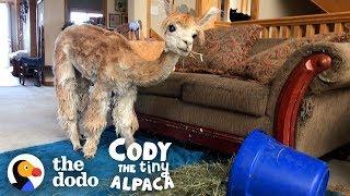 Meet The World's Smallest, Cutest, Most Spoiled Alpaca | Cody The Tiny Alpaca (Series Trailer)