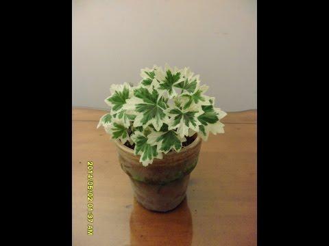 Pelargonium Rushmoor Jazz