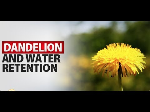 Dandelion and Water Retention - How it Helps