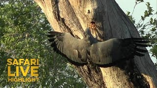 An African Harrier Hawk Finds What its Looking For thumbnail