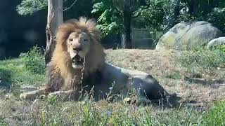 Zoo to You: Happy World Lion Day