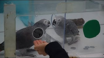 Verhaltensexperimente: Papageien sind hilfsbereit
