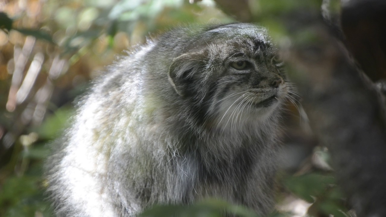 Pallas cat meowing  YouTube