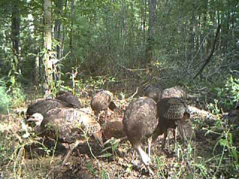 Wild turkey swarm