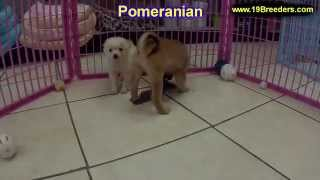 Pomeranian, Puppies, For, Sale, In, Louisville,county, Kentucky, Ky,  Richmond, Florence, Georgetown